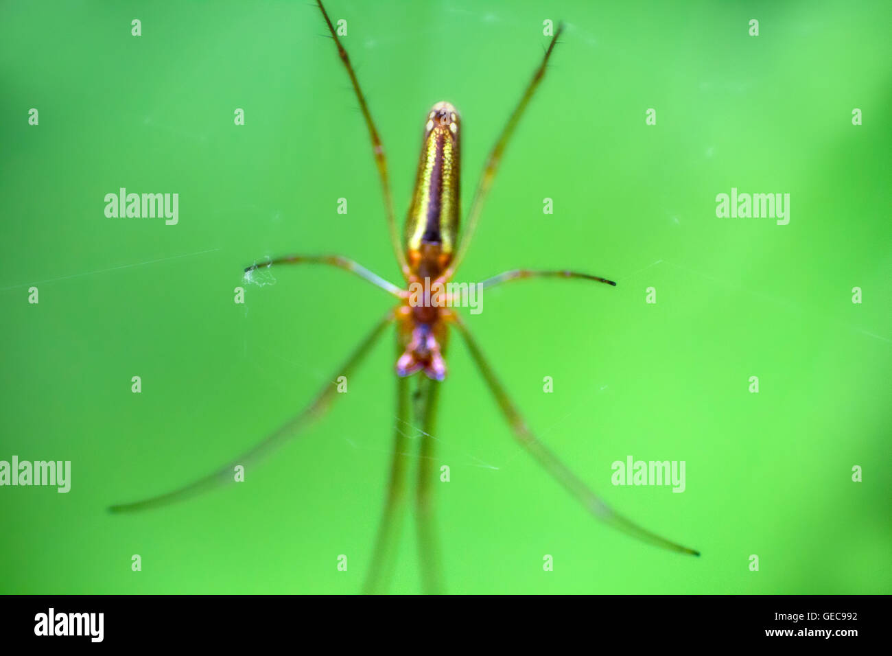tangle-web spiders (Theridiidae) waiting for prey in center of web. Macro - Stock Image