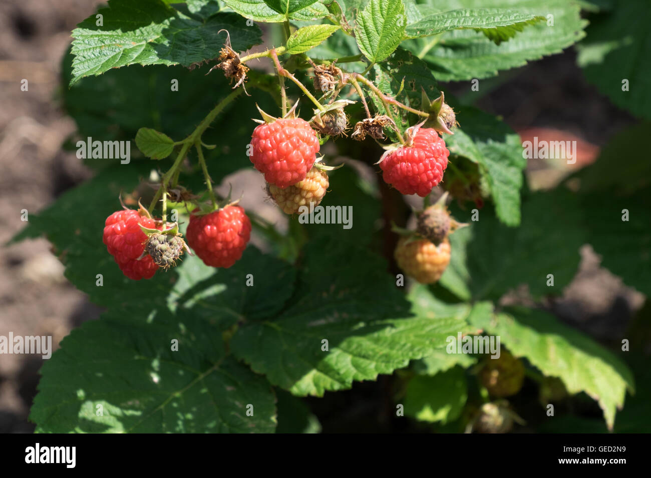 Raspberries in early July on a bush at a northern Illinois farm. - Stock Image