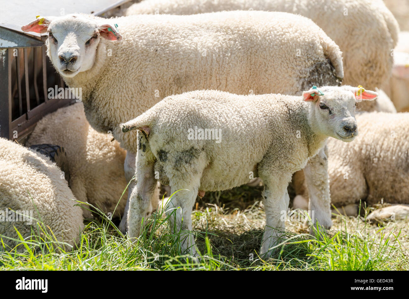 Sheep and lamb at feeding trough looking at camera - Stock Image