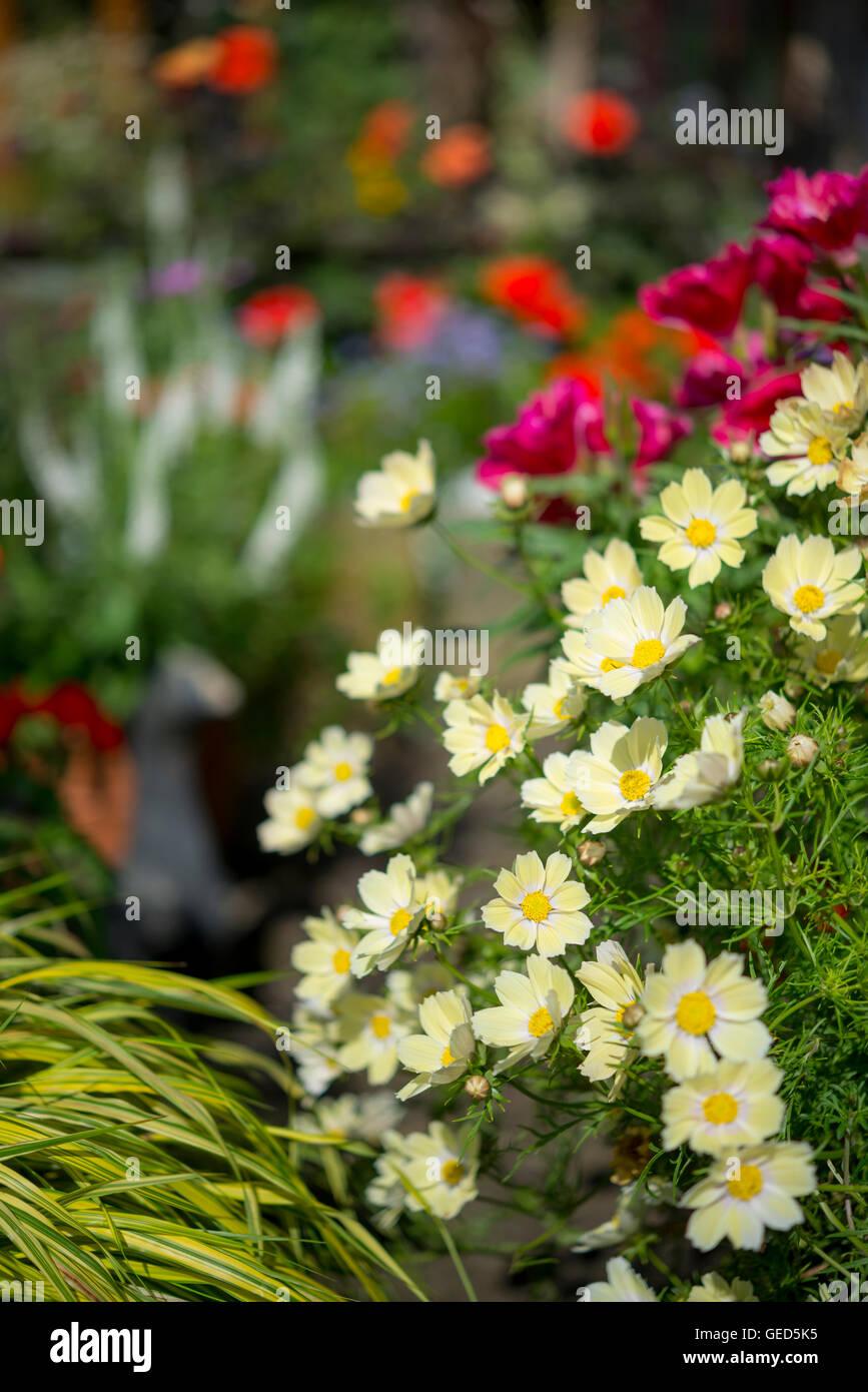 Annual flowers in bright summer sunshine colourful bedding plants annual flowers in bright summer sunshine colourful bedding plants in an english garden izmirmasajfo