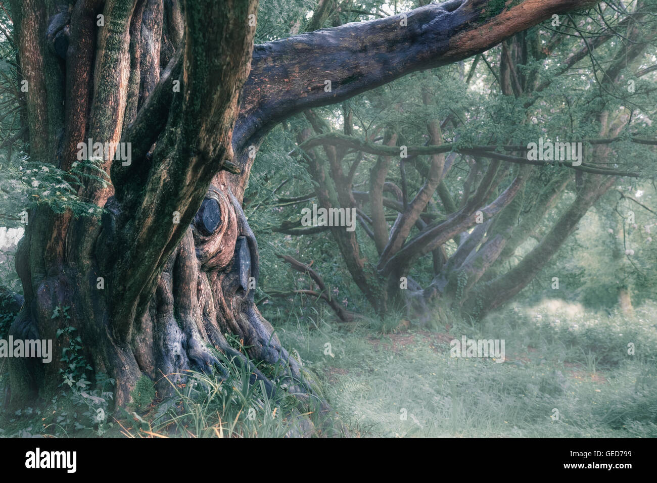 an old, mystical tree in the fog - Stock Image