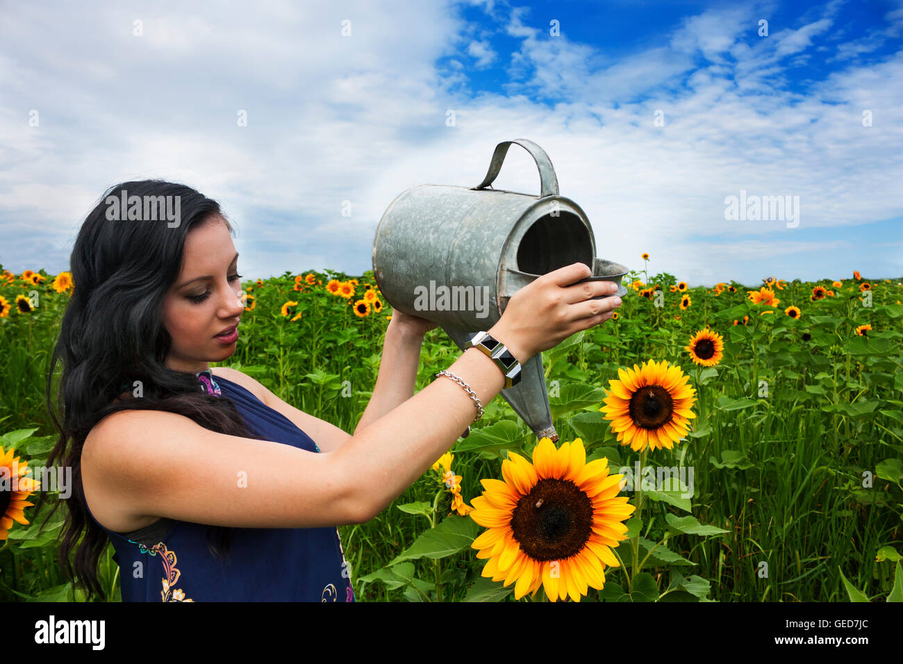 Pretty, young, brunette woman watering sunflowers in a sunflower field - Stock Image
