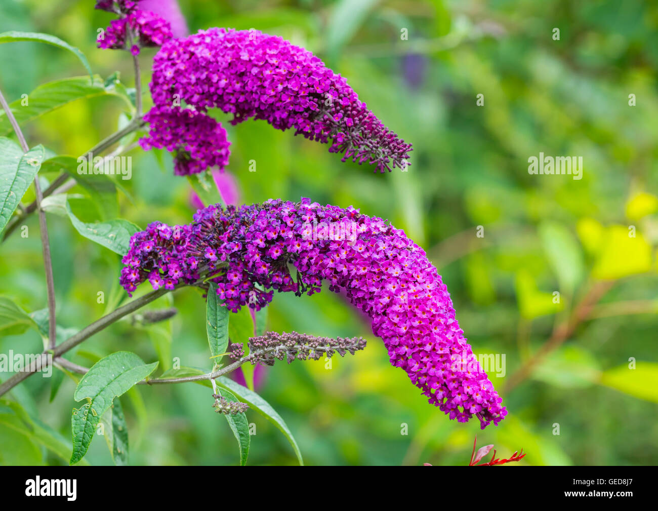 Purple Butterfly Bush plant (Buddleja davidii or Buddleia) growing in Summer in West Sussex, England, UK. - Stock Image