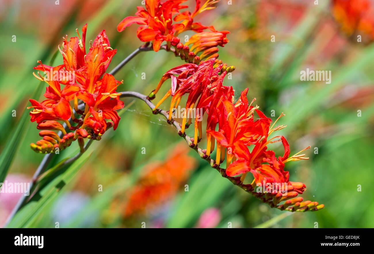 Montbretia 'Lucifer' plant (Crocosmia x crocosmiiflora) flowers in Summer in West Sussex, UK. AKA Coppertips 'Lucifer', Stock Photo