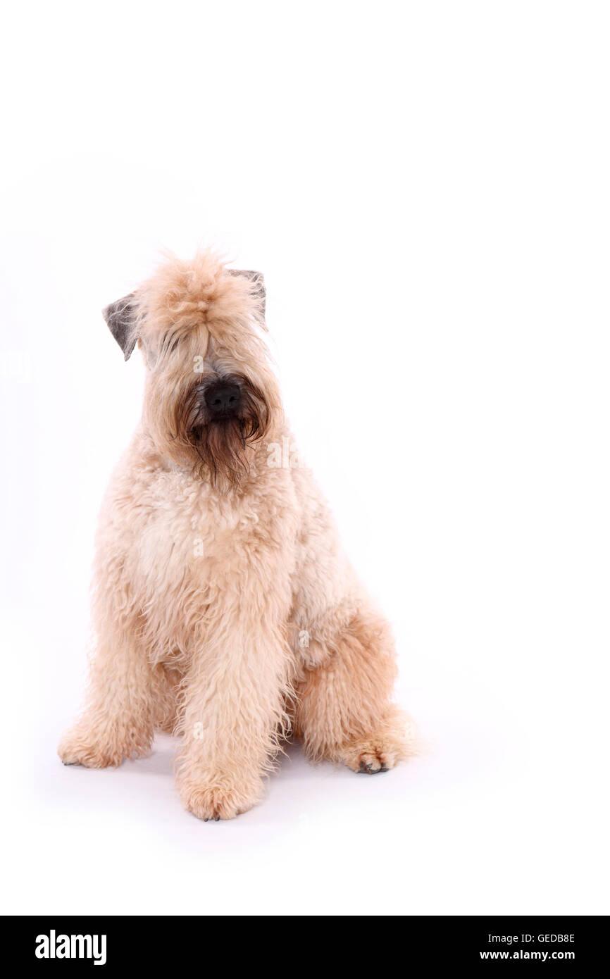 Soft Wheaten Terrier Head Adult Stock Photos & Soft Wheaten Terrier ...