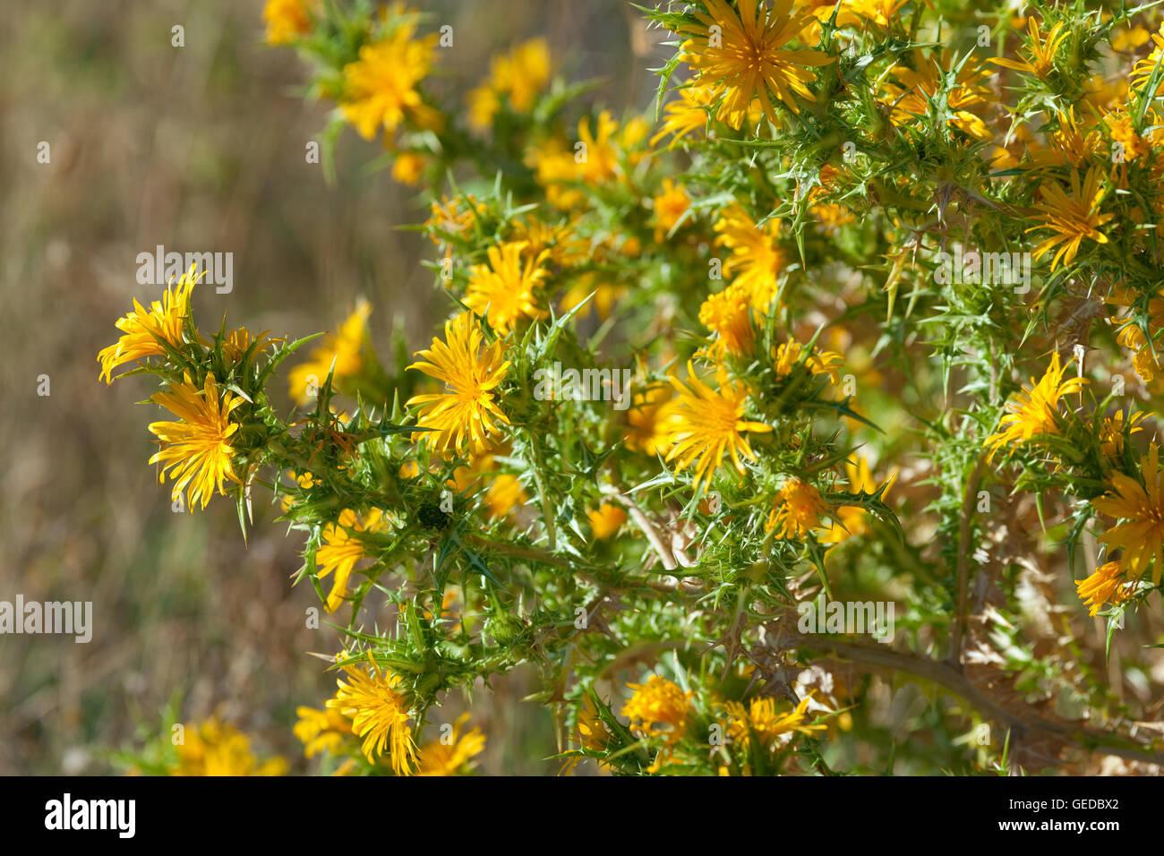 Yellow Thistle Stock Photos Yellow Thistle Stock Images Alamy