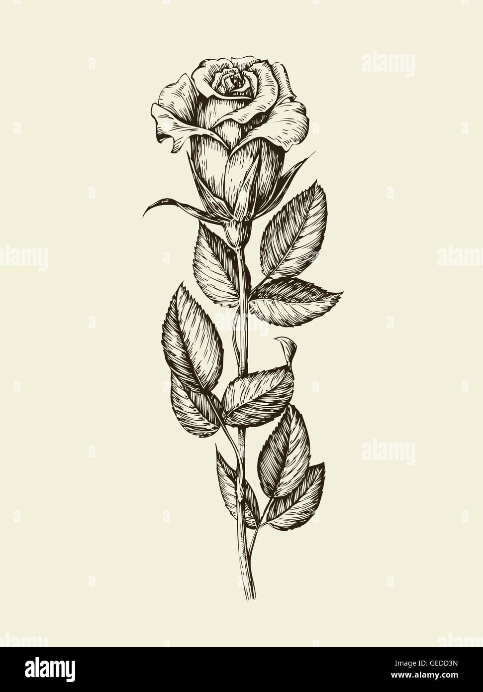 The Rose And Thorn Stock Vector Images Alamy Flower Line Diagram Simple Drawing Of Bud Hand Drawn Vintage Illustration