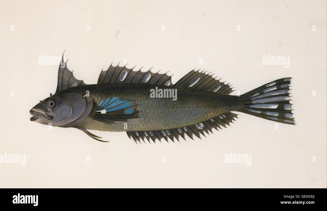 Unknown, after Georg Forster - A fish from New Zealand - Stock Image