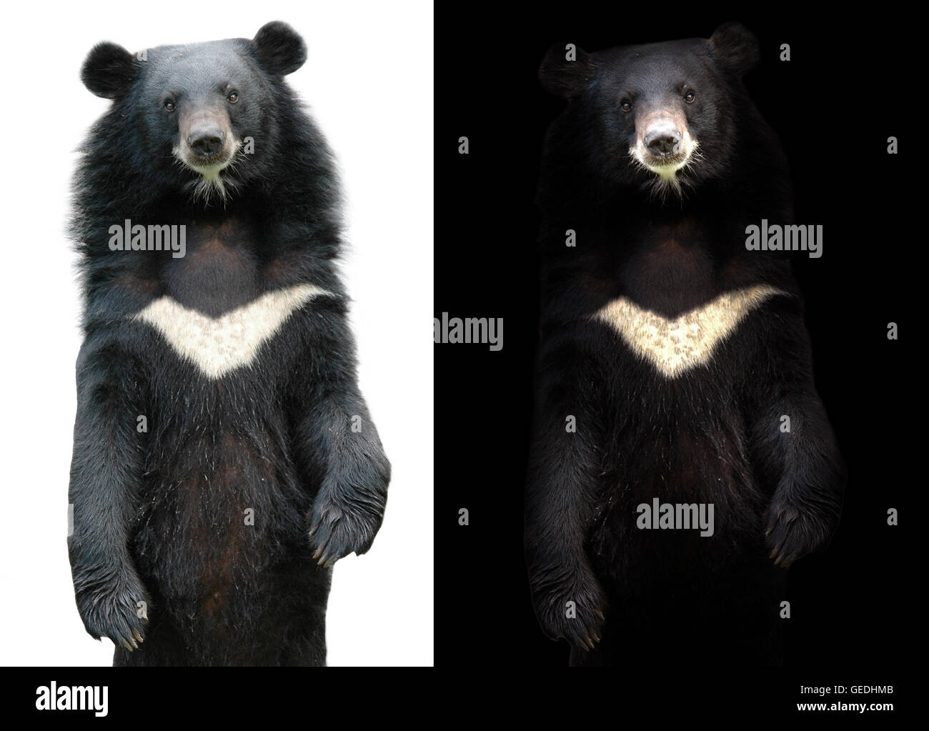 asiatic black bear in dark background and asiatic black bear on white - Stock Image