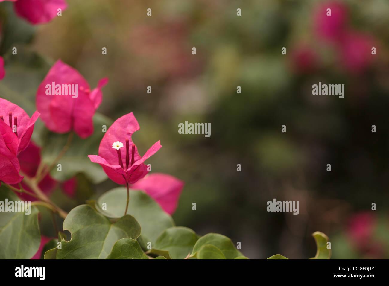 Pink flowers on a bougainvillea bush vine grows and is prolific pink flowers on a bougainvillea bush vine grows and is prolific this thorny ornamental vine is found in south america mightylinksfo