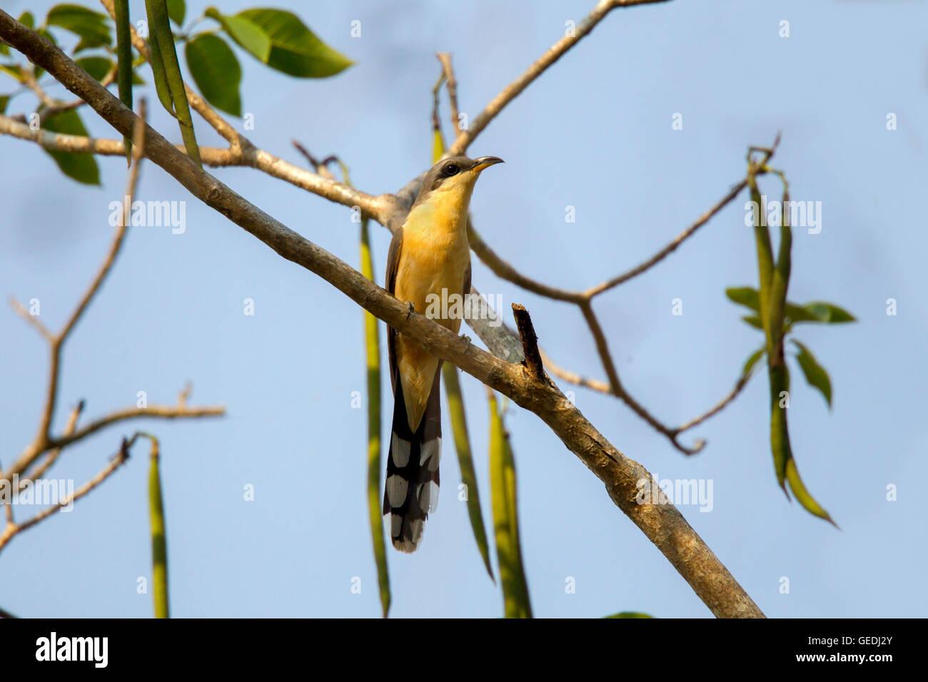 Mangrove Cuckoo  Coccyzus minor El Tuito, Jalisco, Mexico 13 June     Adult       Cuculidae - Stock Image