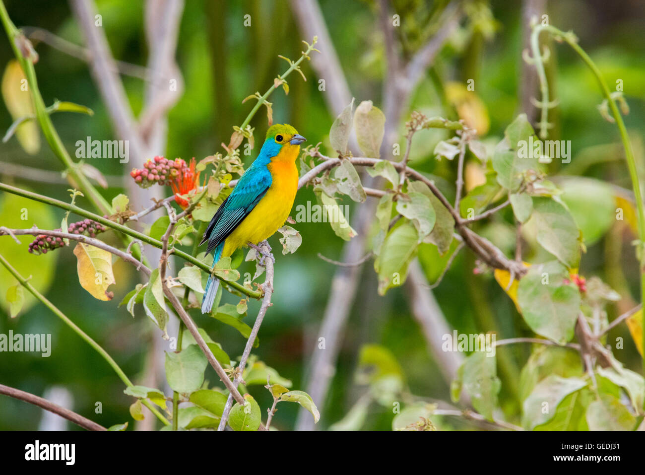 Orange-breasted Bunting  Passerina leclancherii west of El Tuito, Jalisco, Mexico 13 June      Adult          Cardinalidae - Stock Image