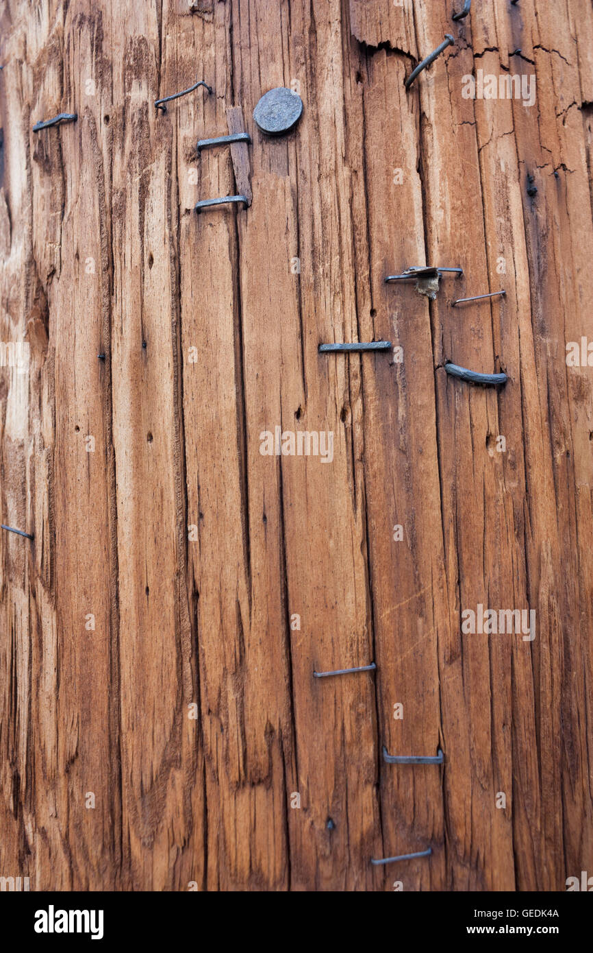Rough wooden post with black staples textured background - Stock Image