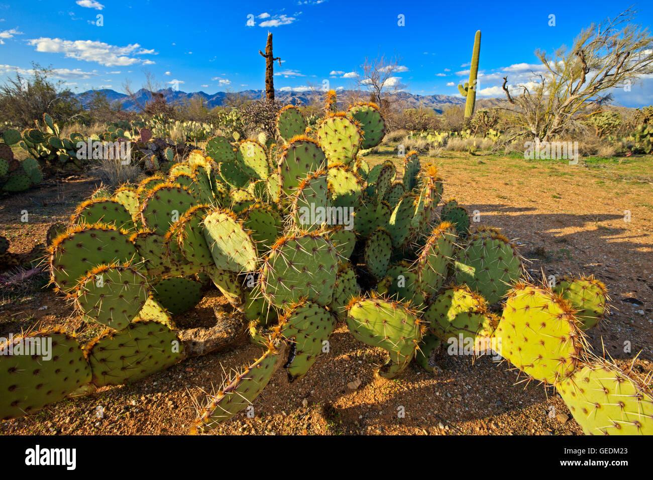 geography / travel, USA, Arizona, Tucson, Prickly spear cactus in desert landscape in spring at Saguraro National - Stock Image