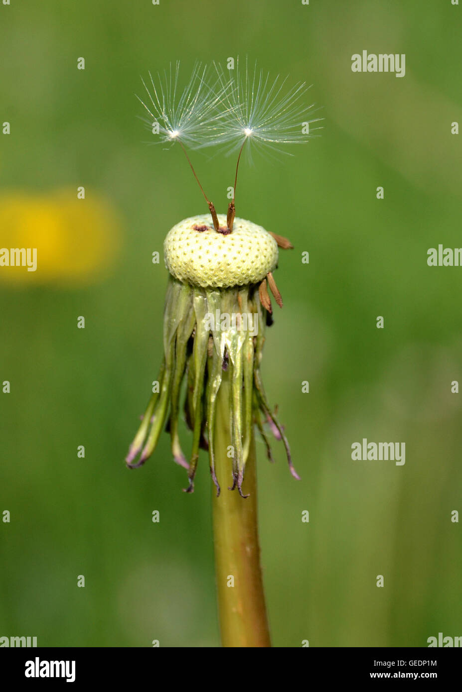 Two seeds remain on a dandelion flower, soon they will also fly away and become new dandelions - Stock Image