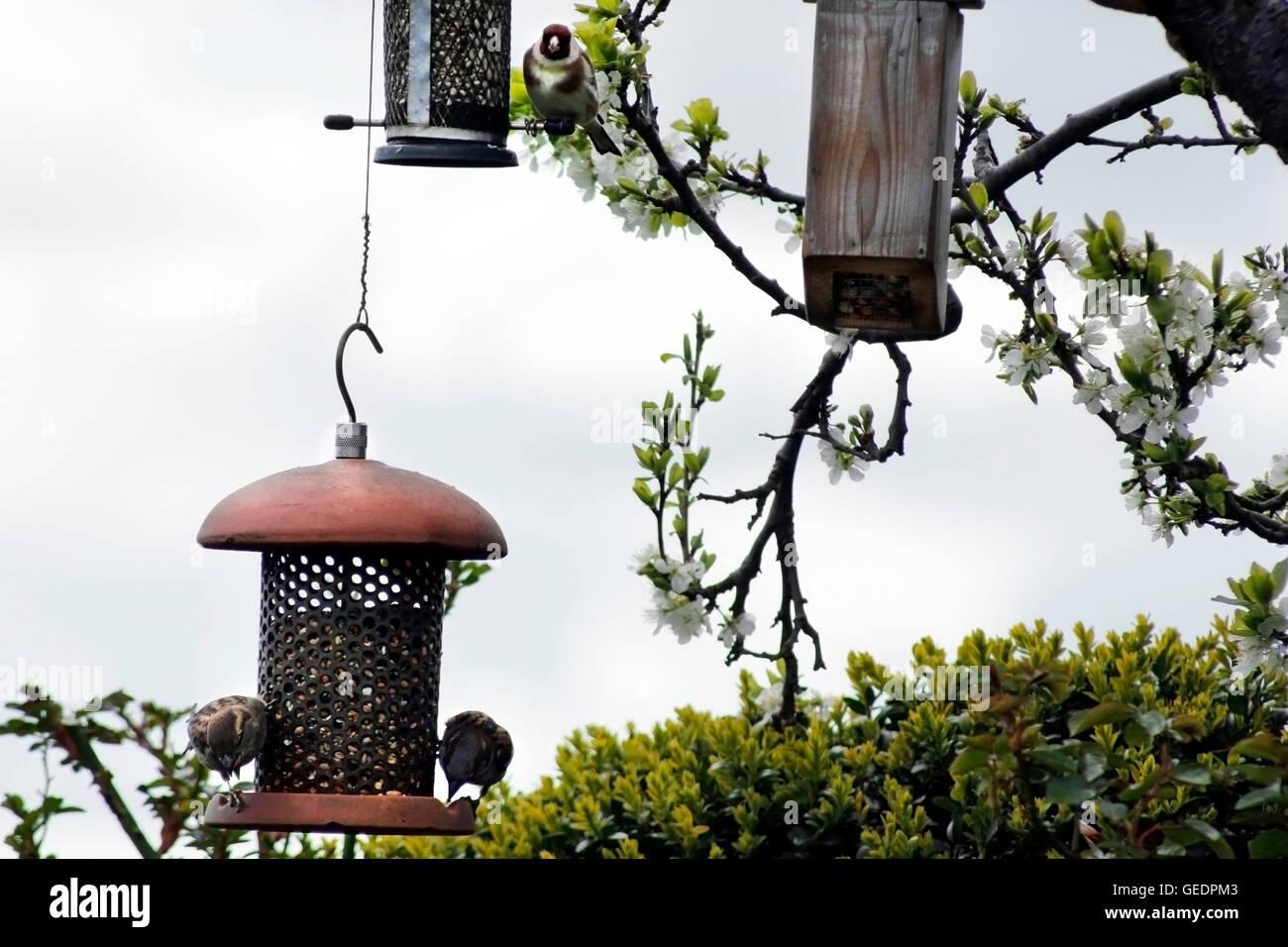 Varieties of  wild birds feeding in an English garden in summer - Stock Image