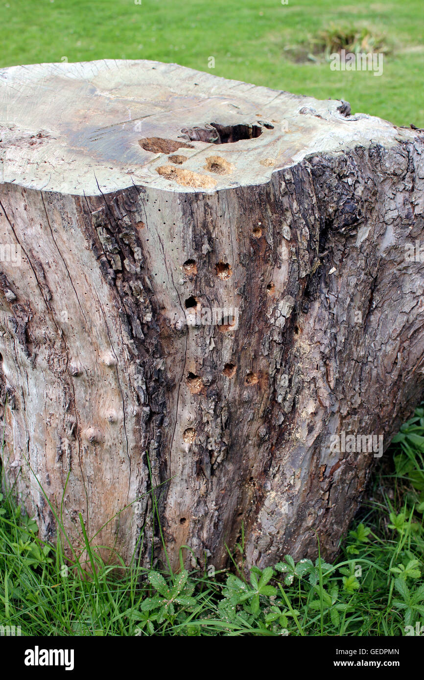 Holes and hollows bored by Woodpeckers on ancient apple tree trunk - Stock Image