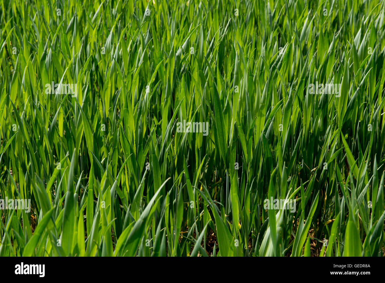Young bearded wheat crop at stage 30, Berkshire, May - Stock Image