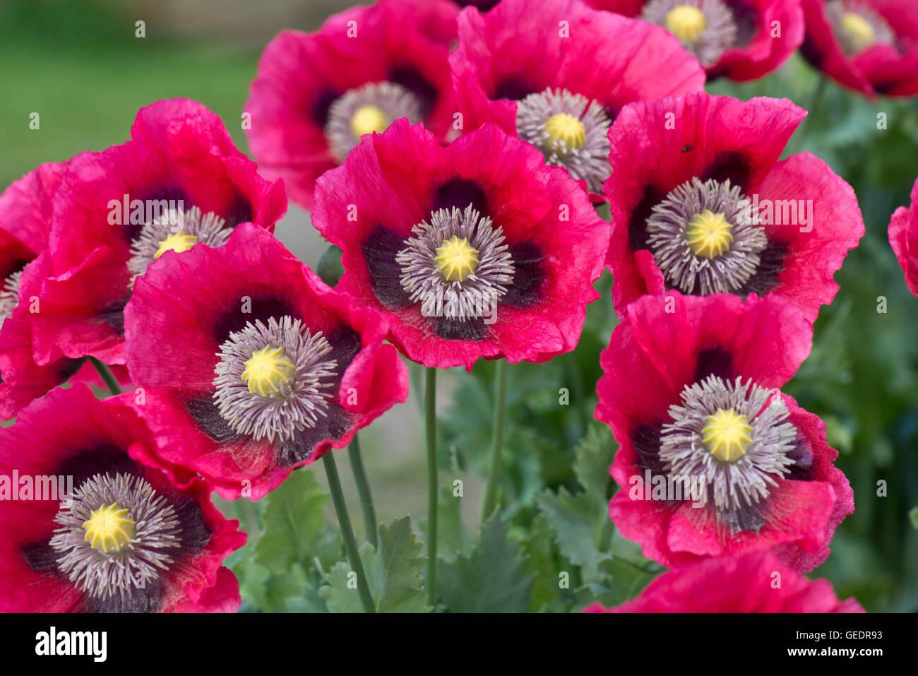 Bright magenta pink opium poppies, Papaver somniferum, grown as a garden annual, Berkshire, June - Stock Image