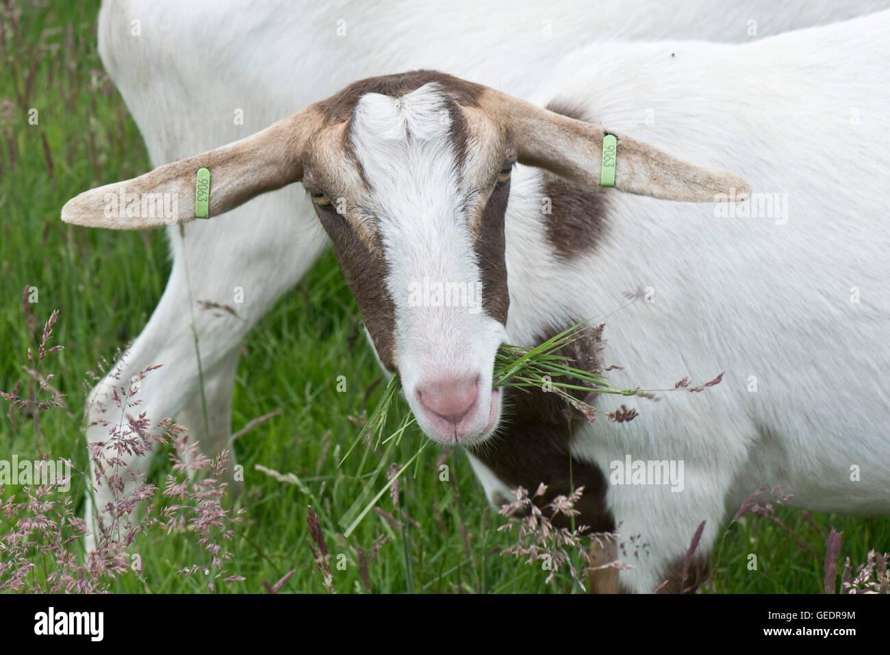 Boer type nanny goat grazing flowering Yorkshire fog grass, Holcus lanatus, June - Stock Image