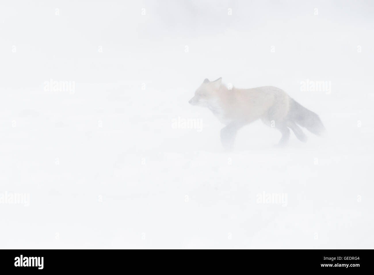 Red Fox (Vulpes vulpes) adult, walking in snow during blizzard, Churchill, Manitoba, Canada. - Stock Image