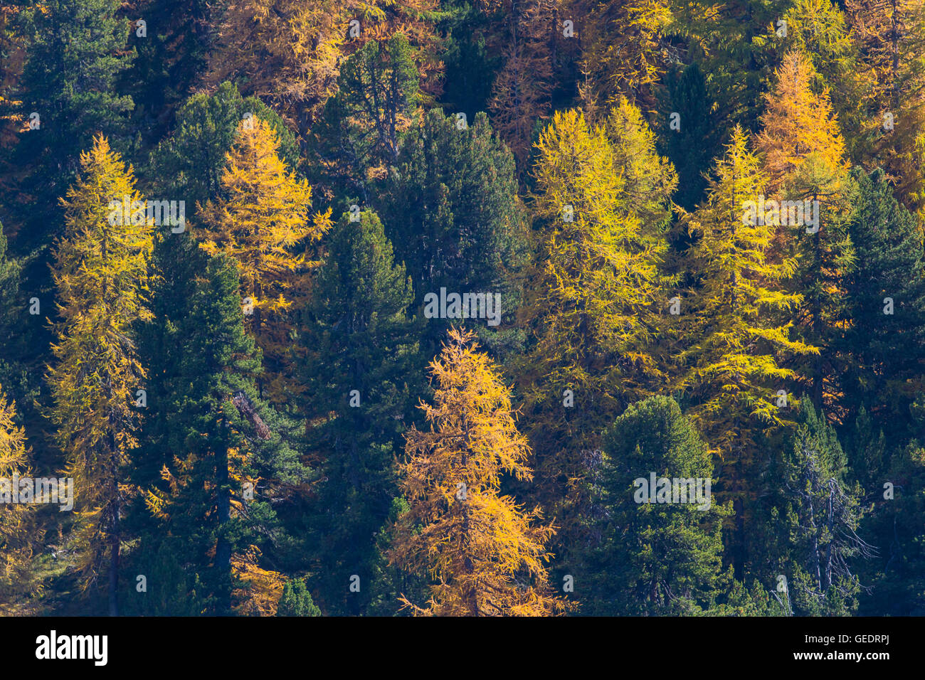 Forest of spruces in autumn - Stock Image