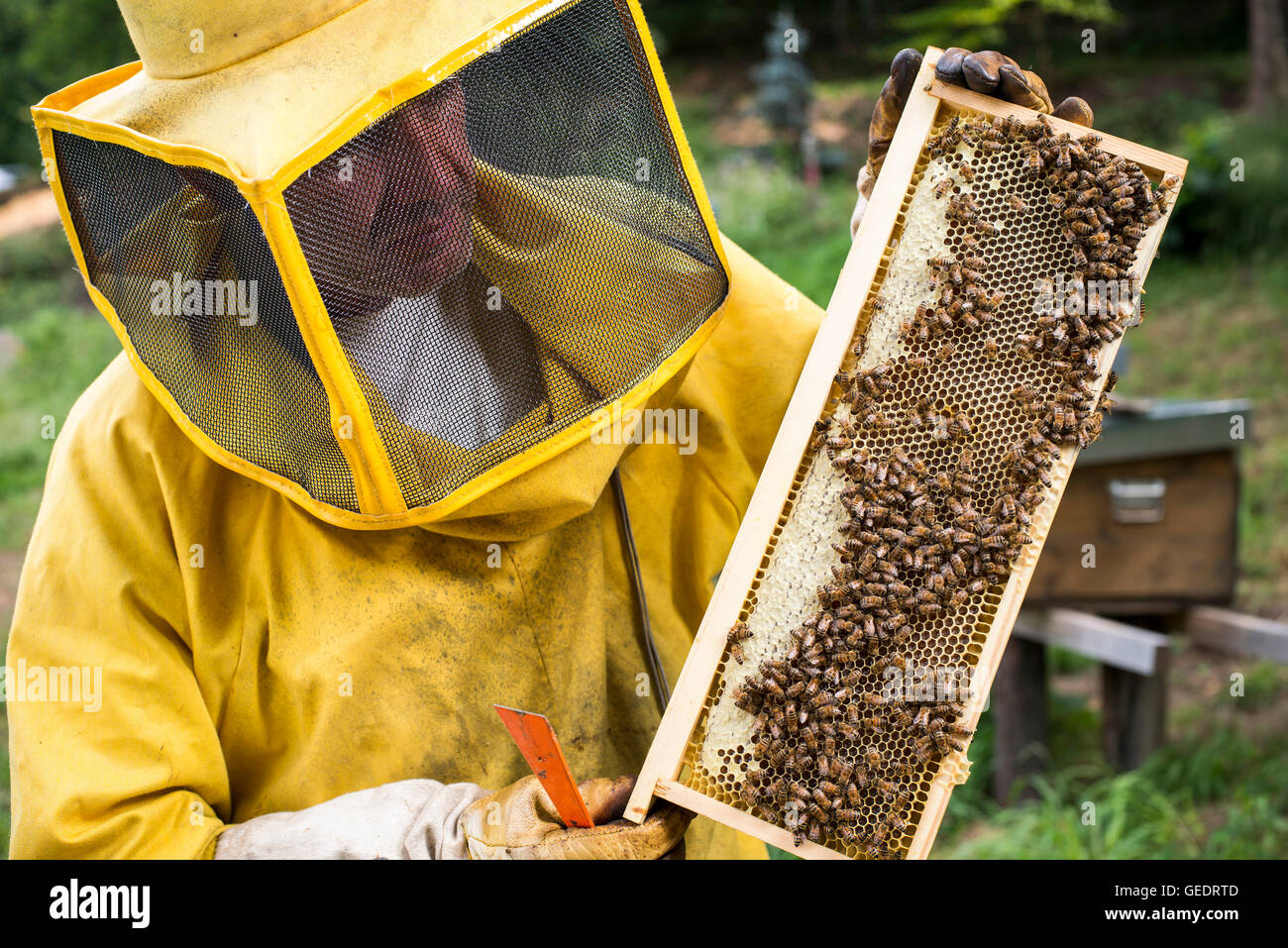 Beekeeper Holding Honeycomb of Bees - Stock Image