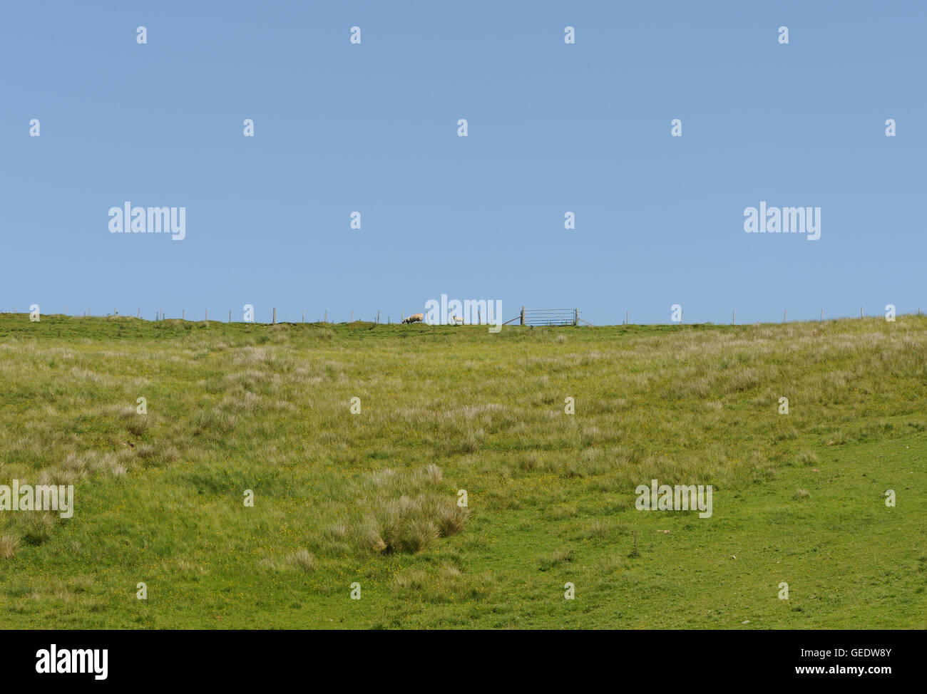 A field of poor grassland with a fence, gate and sheep. Islay, Inner Hebrides, Argyll, Scotland, UK. - Stock Image