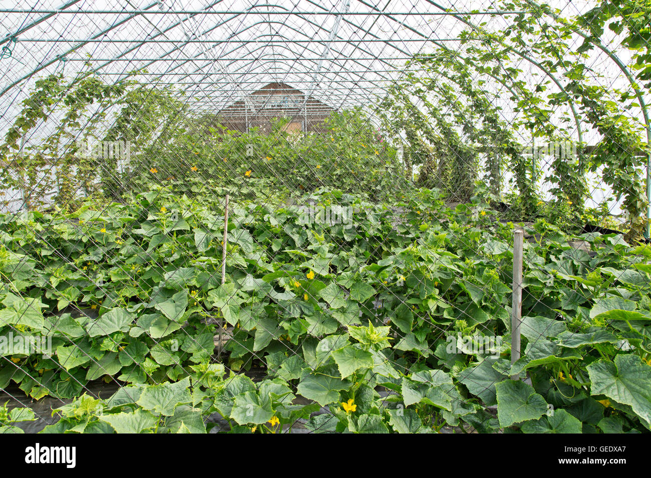 Tunnel, cucumber plants, hops climbing on both sides. - Stock Image