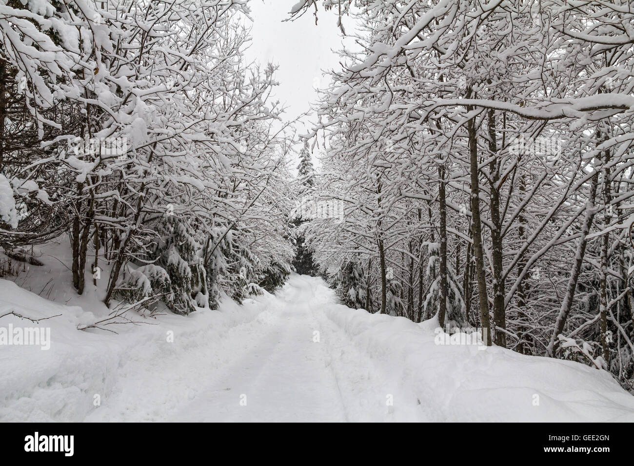 Fresh snow on trail through corridor of deciduous trees - Stock Image