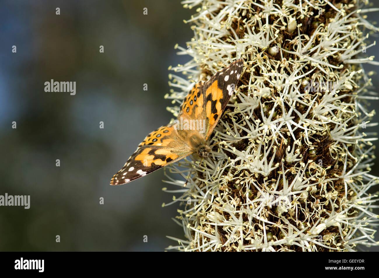 Australian Painted lady butterfly  on grasstree flower (Xanthorrhoea australis) - Stock Image