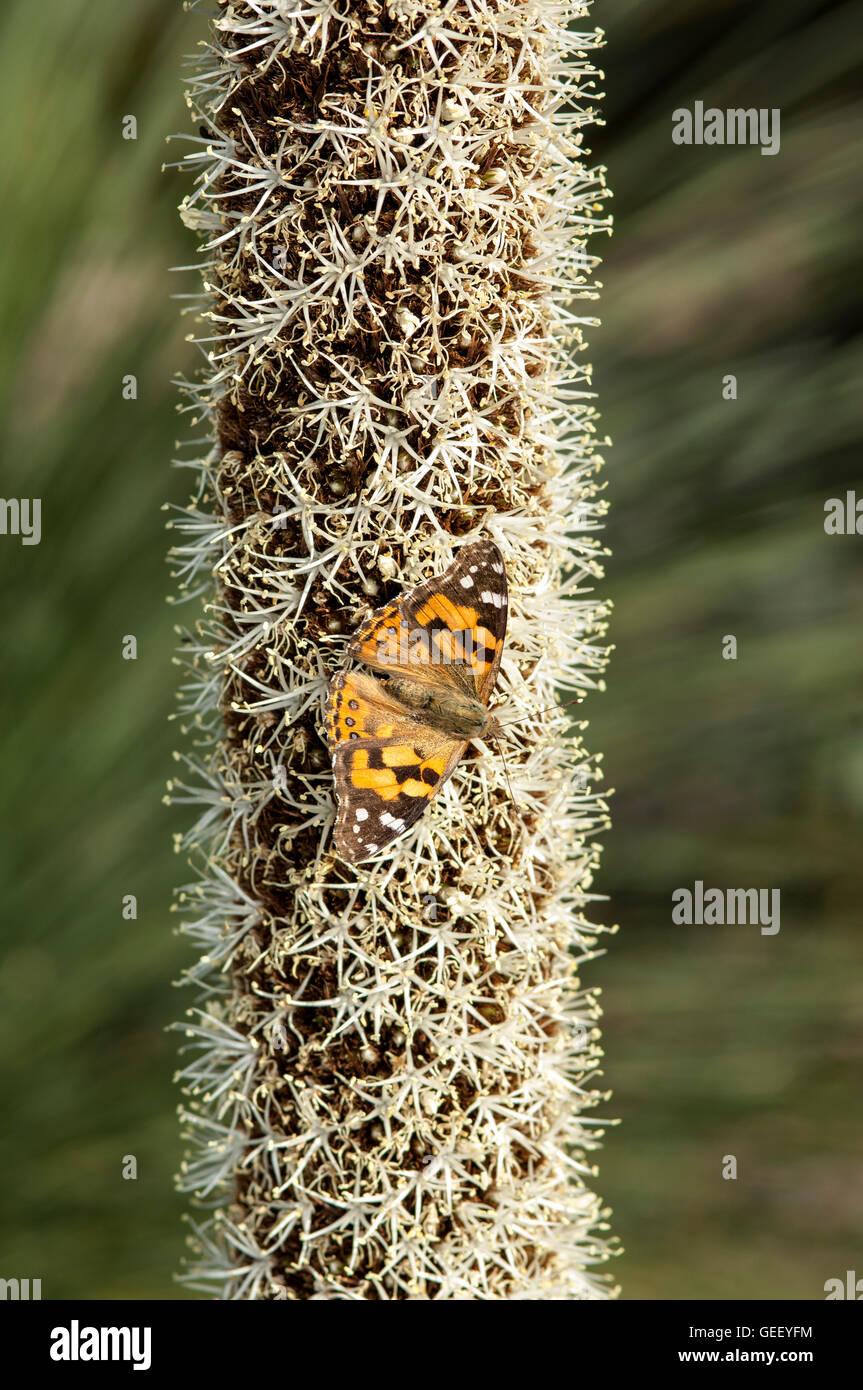 Australian Painted Lady butterfly  on grasstree flower - Stock Image