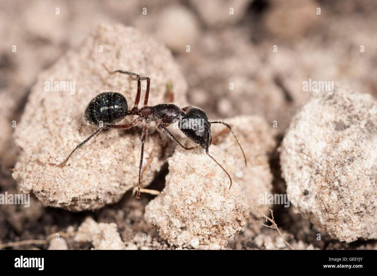 Sugar ant worker (Camponotus sp.) - Stock Image