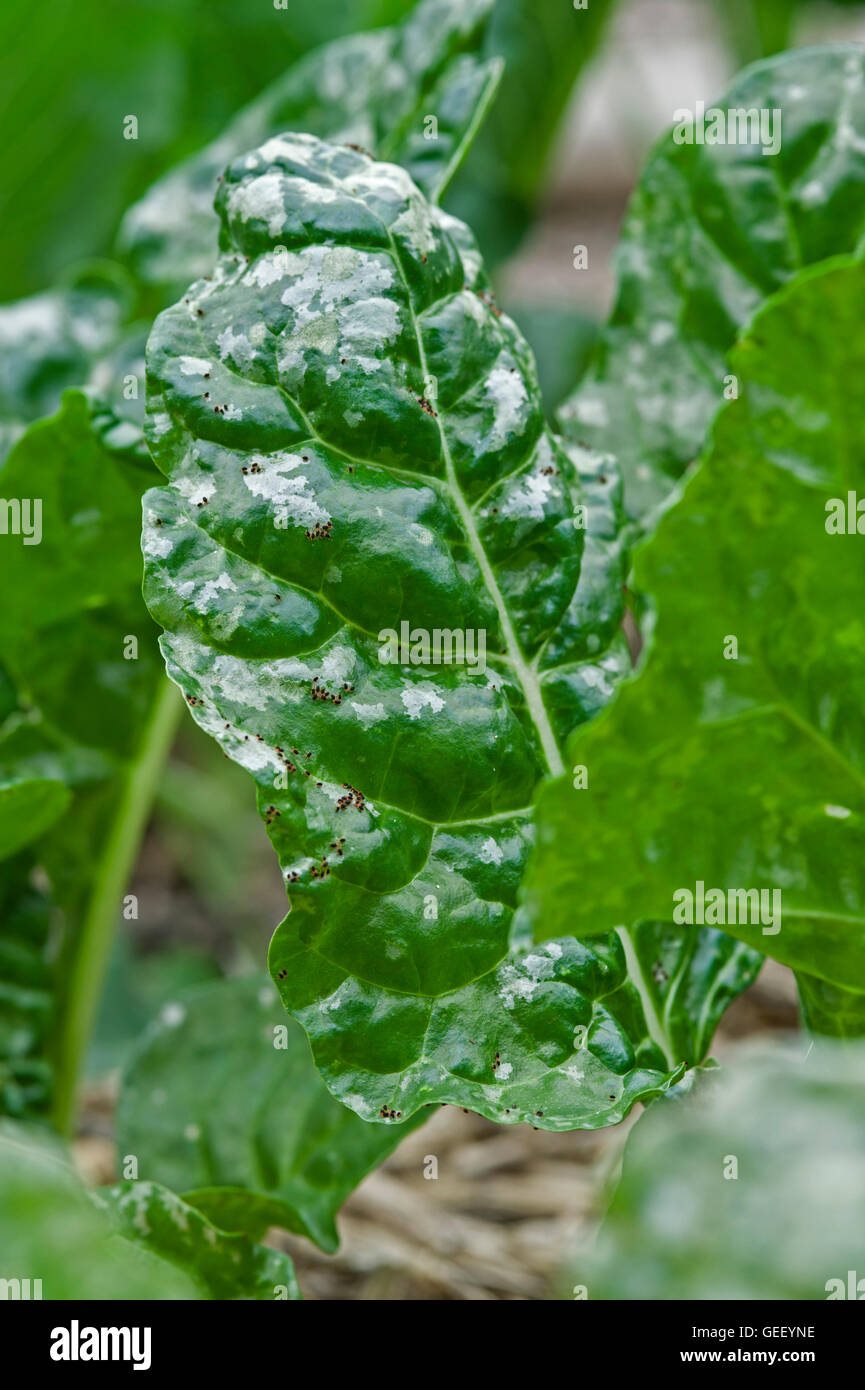 Silverbeet (chard) leaves damaged by red legged earth mite damage - Stock Image