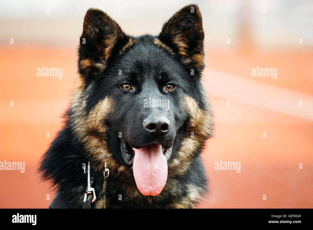 Close Up Young Puppy Black German Shepherd Dog, Alsatian Wolf Dog - Stock Image