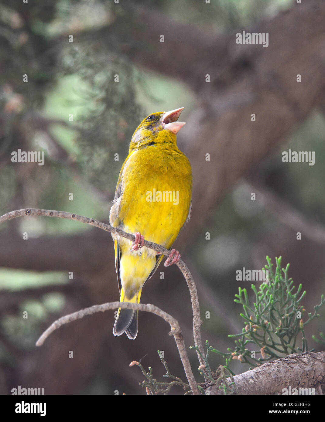 Greenfinch sings in the forest - Stock Image