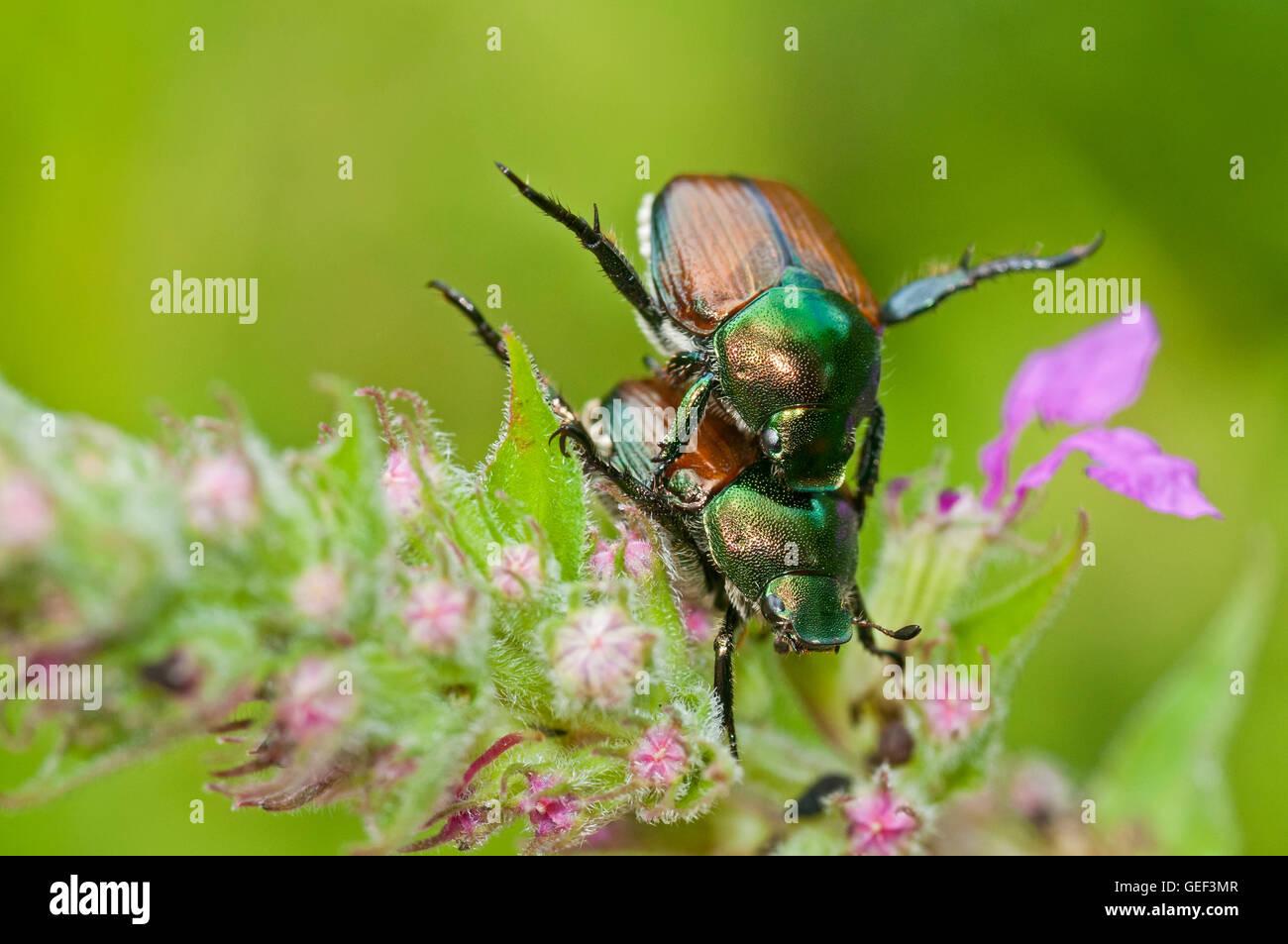 Japanese Beetles Mating - Stock Image