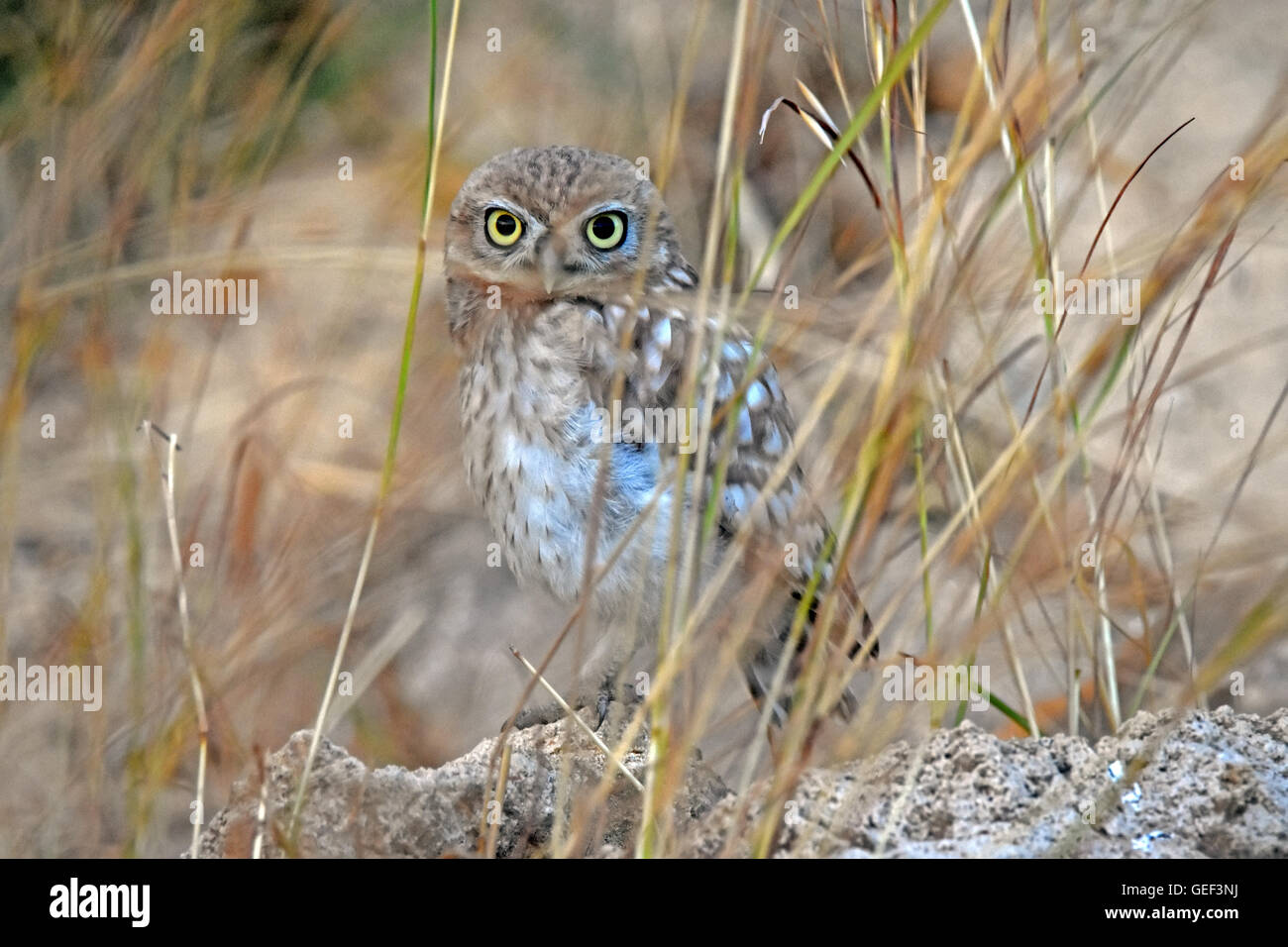 little owl perching on a rock - Stock Image
