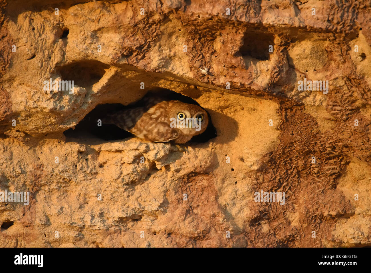 little owl in its burrow - Stock Image