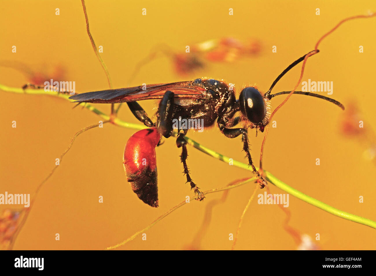 Wasp on stem - sleeping position - Stock Image