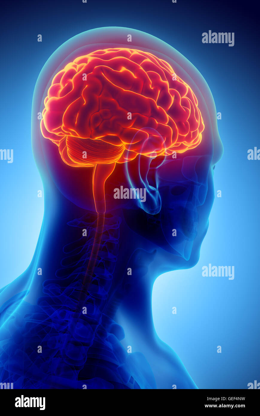 Human Internal Organic - Human Brain, 3D illustration medical concept. - Stock Image