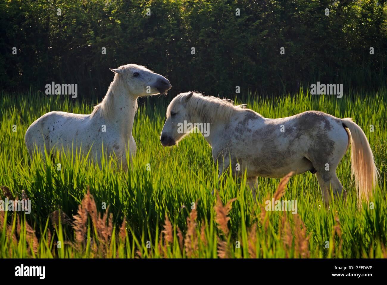 Zoology Animals Mammal Mammalian Equus Stock Photos