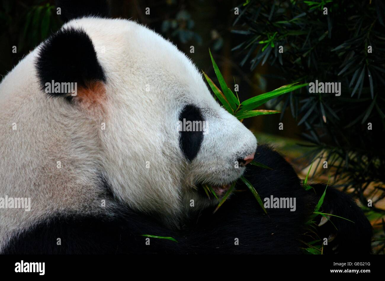 Close up of black and white Panda bear eats and chews green plants - Stock Image
