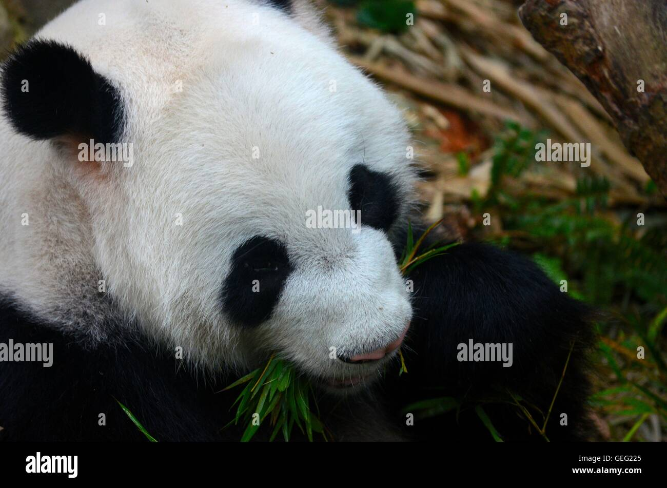 Panda bear eats with green leaves in mouth - Stock Image