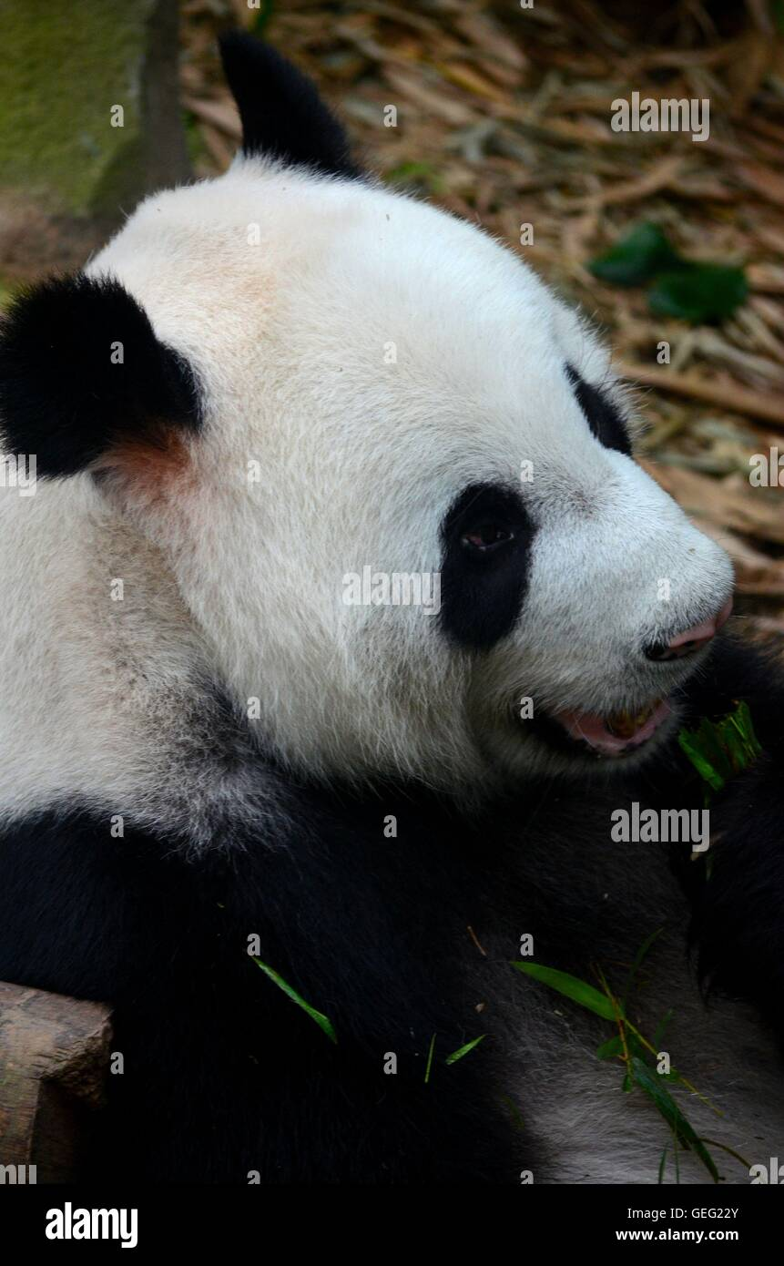 Playful black and white Panda bear eats with green leaves in mouth - Stock Image