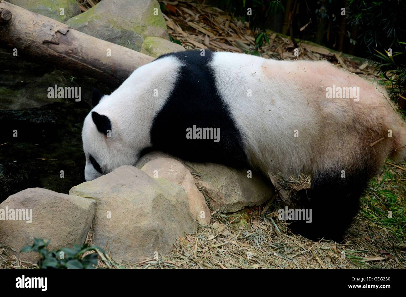 Black and white Panda bear leans over rocks and drinks water inside enclosure - Stock Image