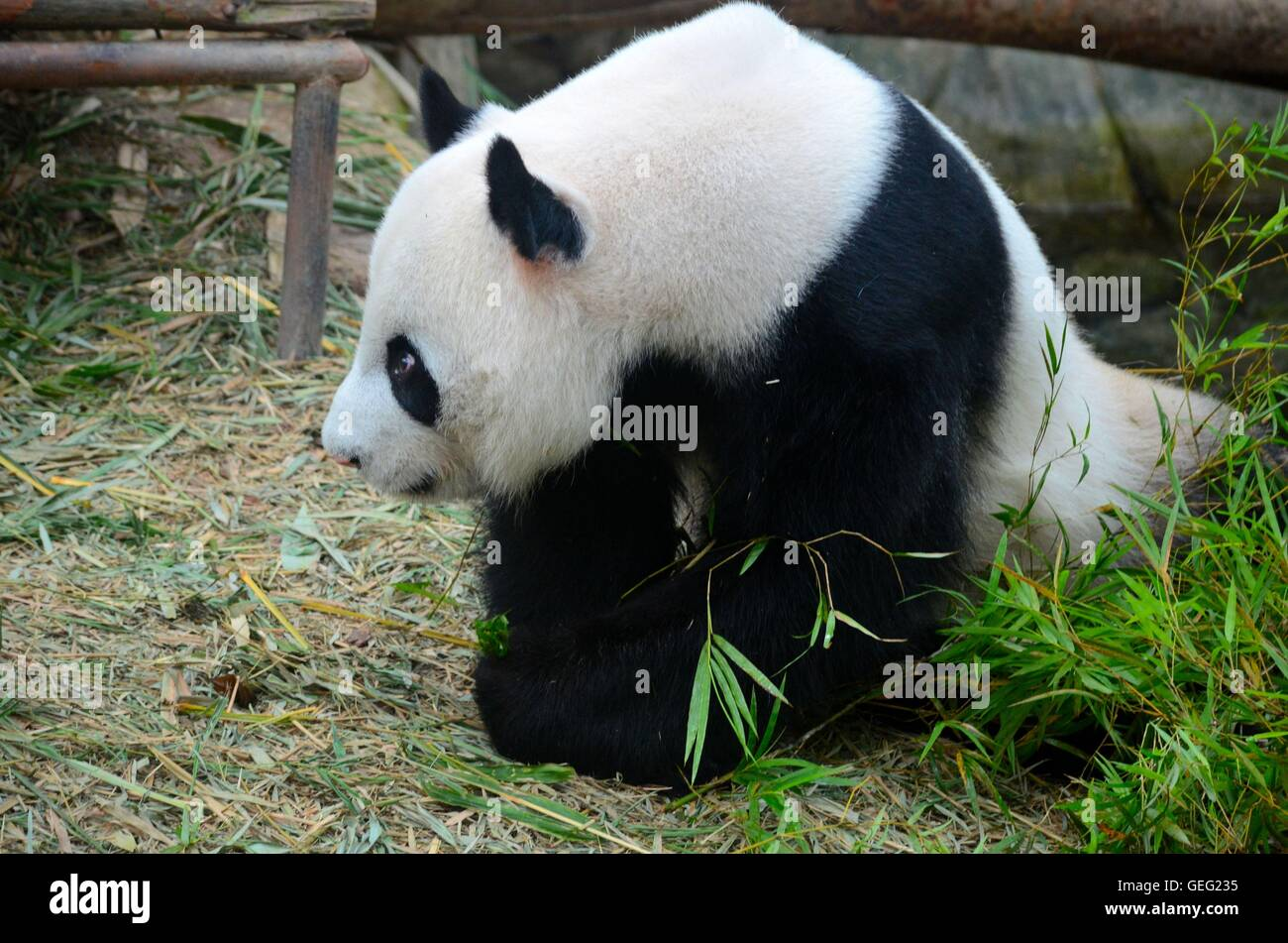 Black and white Panda bear looks into distance with lowered head - Stock Image