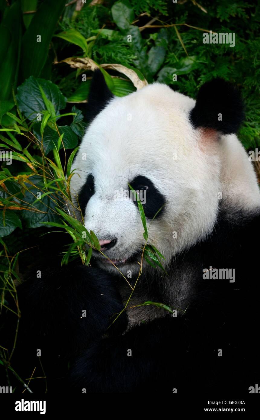 Panda bear lies among foliage eating bamboo shoots - Stock Image