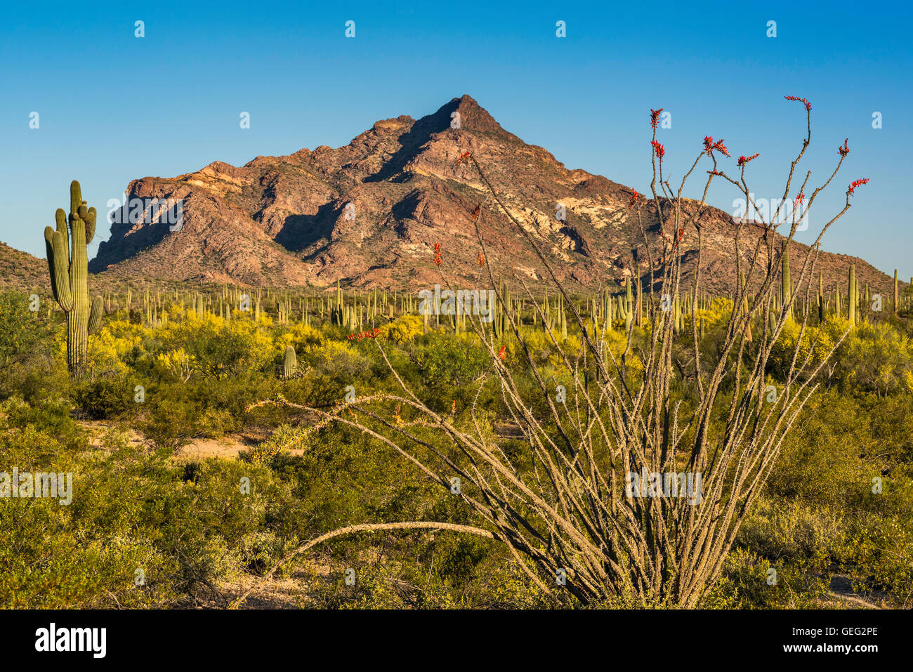 Blooming ocotillos and saguaros, Pinkley Peak, view from North Puerto Blanco Drive, Organ Pipe Cactus National Monument, - Stock Image