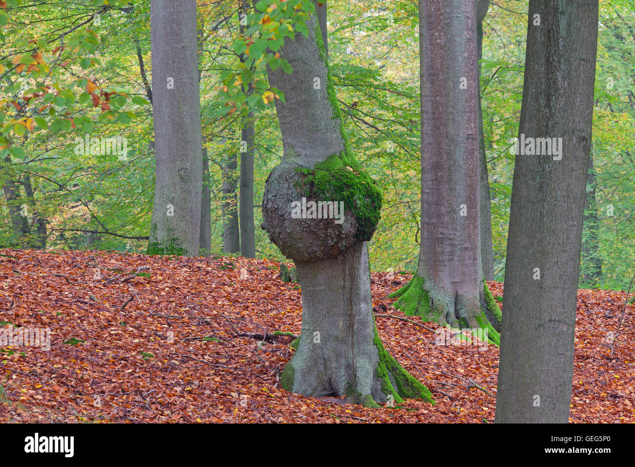 Burl / burr, rounded outgrowth on beech (Fagus sylvatica) tree trunk in forest - Stock Image